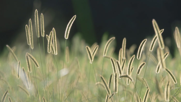 Bristle_Grass_17-700x394 4K Wallpapers for Your Desktop Background