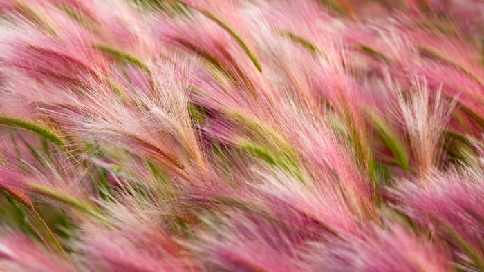 Foxtail_Barley_49-700x394 4K Wallpapers for Your Desktop Background
