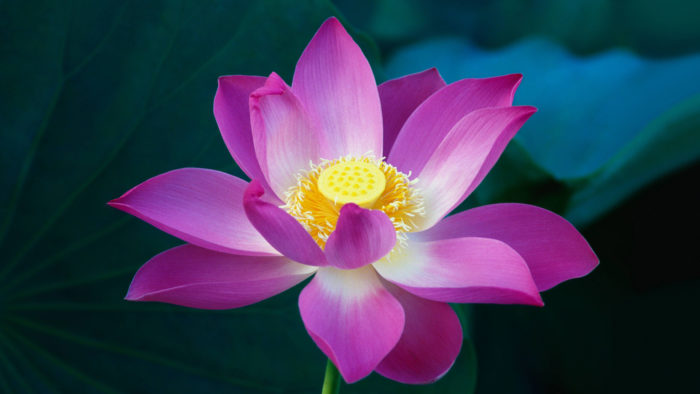 Pink_Lotus_Flower_92-700x394 4K Wallpapers for Your Desktop Background