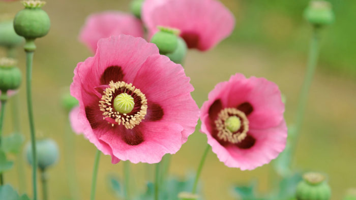 Poppies_96-700x394 4K Wallpapers for Your Desktop Background