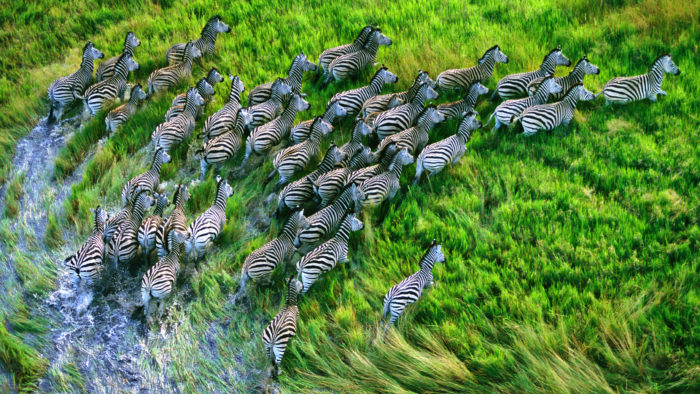 Zebras_131-700x394 4K Wallpapers for Your Desktop Background