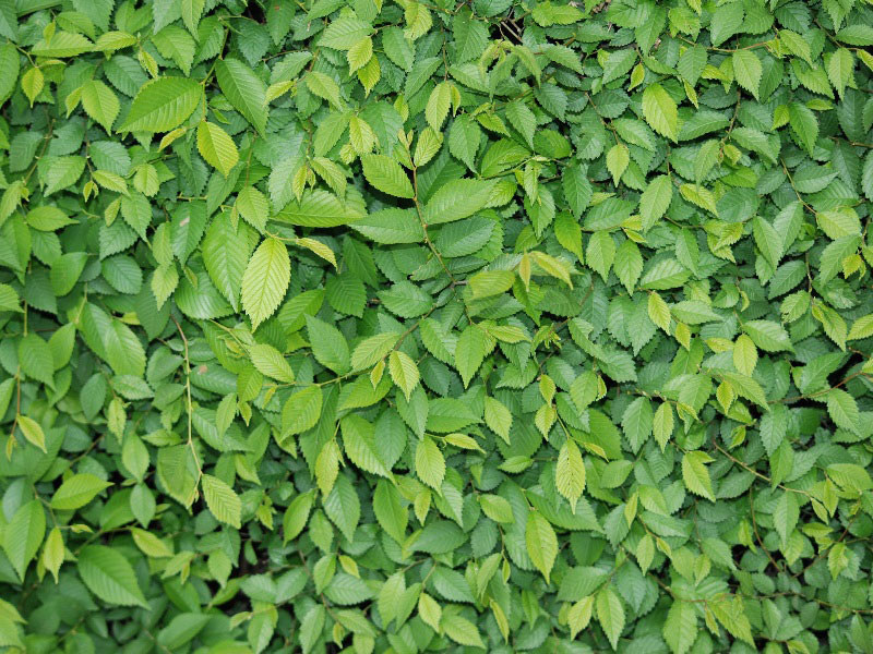 1Green-Leaf-Foliage-Texture-Background-Free-A-bed-of-leaves Téléchargez ces belles textures de fond dès maintenant