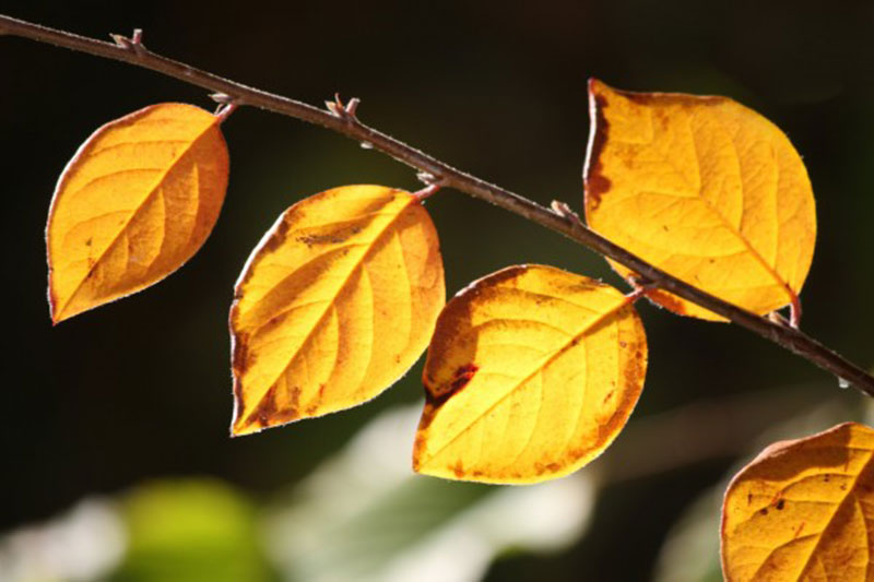 Golden-Orange-Fall-Leaves-in-Sunlight-Close-Up Fall background images to use in your projects