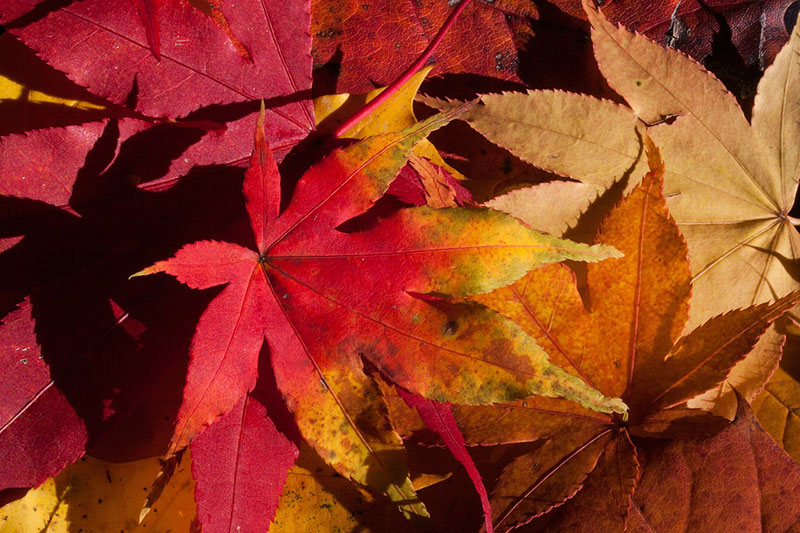 Red-and-yellow-leaves-Impressive-lighting Fall background images to use in your projects