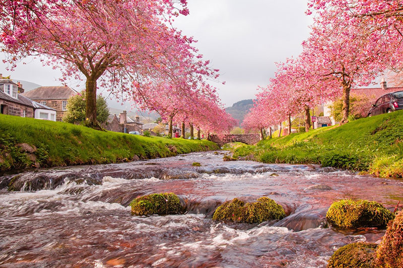 Awesome Cherry Blossom Wallpaper To Download For Your Desktop