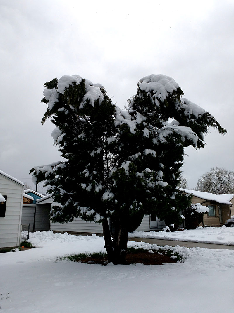 Evergreen-Tree-Weighed-Down-with-Heavy-Spring-Snow-Waiting-for-spring A great deal of spring background images to download