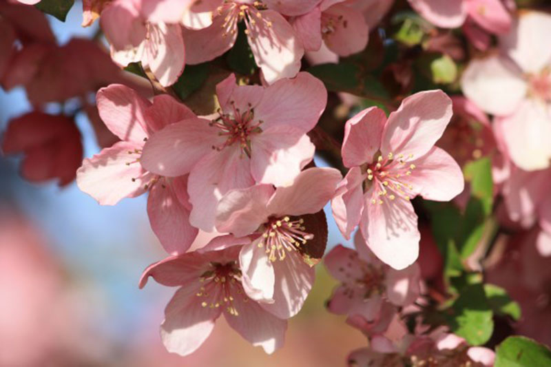 Spring-Blossoms-on-Pink-Crabapple-Tree-The-time-of-the-cherry-trees A great deal of spring background images to download