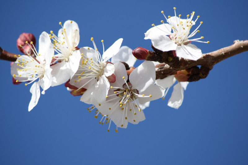 White-Spring-Fruit-Blossoms-–-Amazing-zoom A great deal of spring background images to download