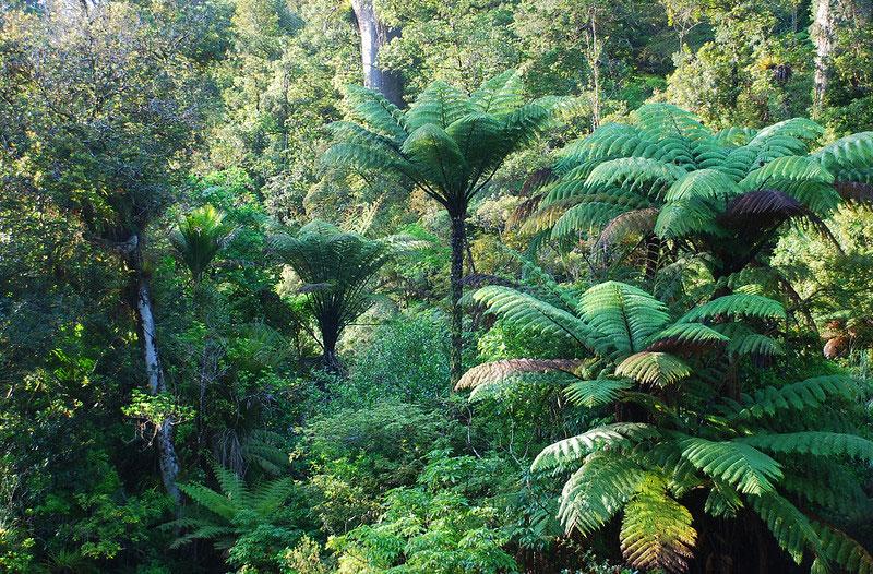 Waipoua-forest-vegetationwallpaper New Zealand wallpaper images for your desktop background