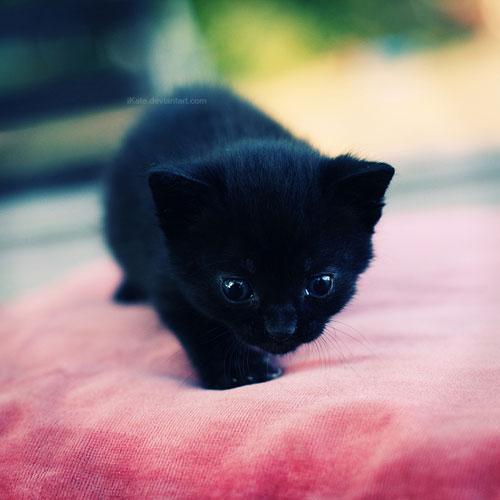 cute furry black cat photography