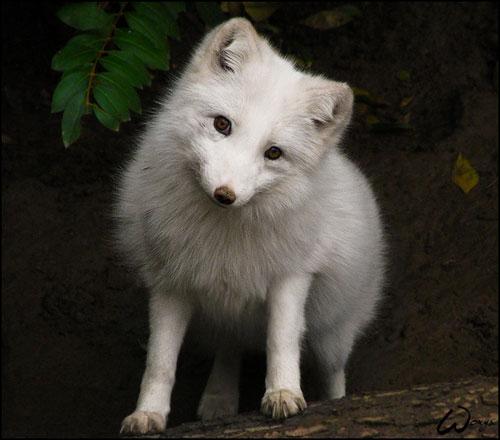 cute arctic fox photography