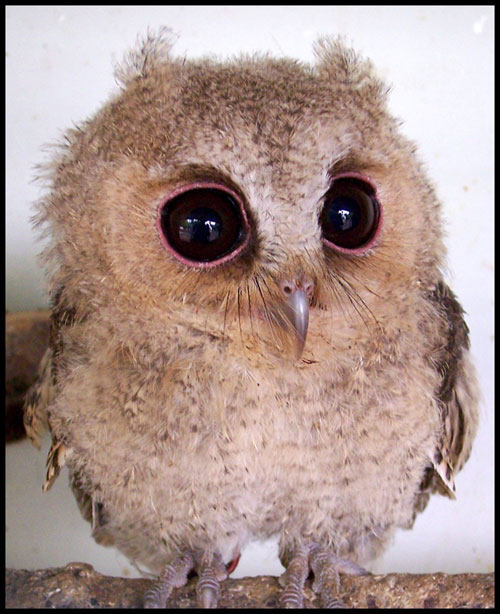 cute baby owl photography
