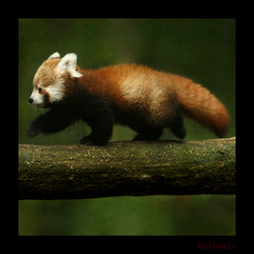 cute Red Panda photography