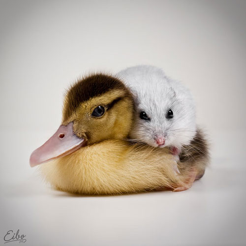 cute duck and mouse photography