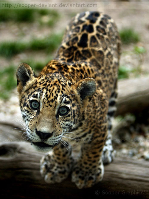 cute jaguar cub photography