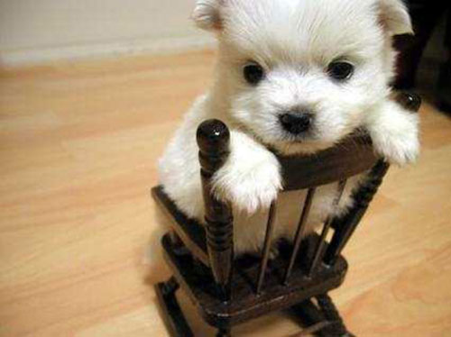 cute little puppy on chair photography