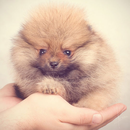 cute small furry puppy photography