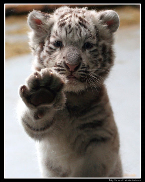 cute white tiger photography