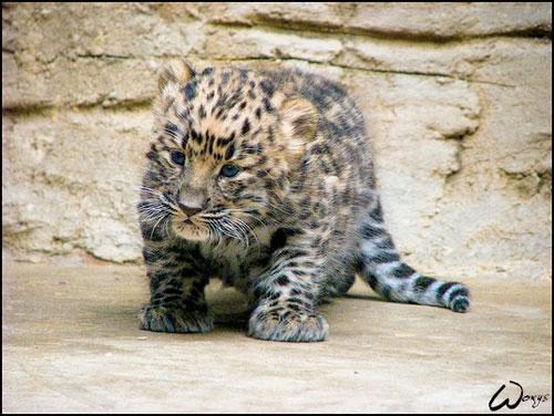 cute amur leopard photography