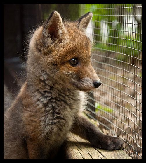 cute fox photography