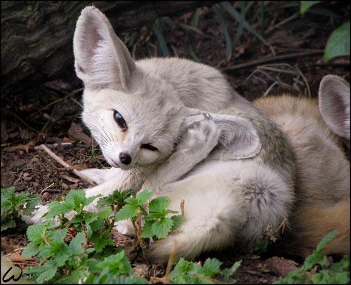 cute fennec fox photography