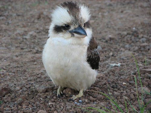 cute Kookaburra photography
