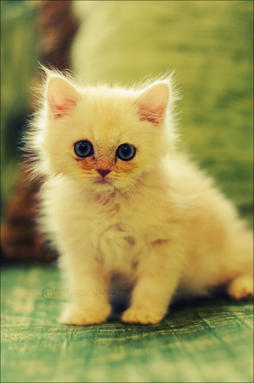 cute light haired kitty photography