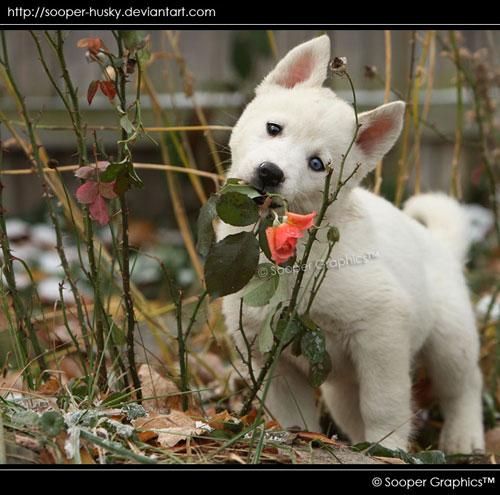 cute husky puppy photography