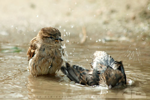 cute Sparrows having fun in bath photography