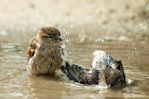 cute Sparrows having fun in bath photography