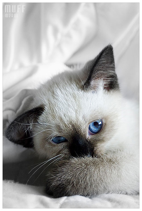cute and shy blue eyed kitten photography