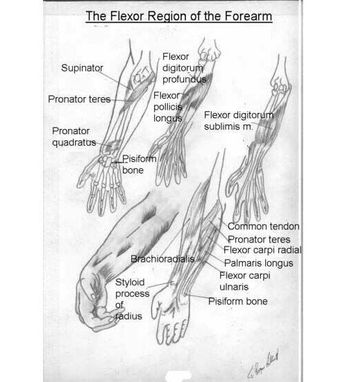 Basic Anatomy for the Artist - Lesson 6 tutorial