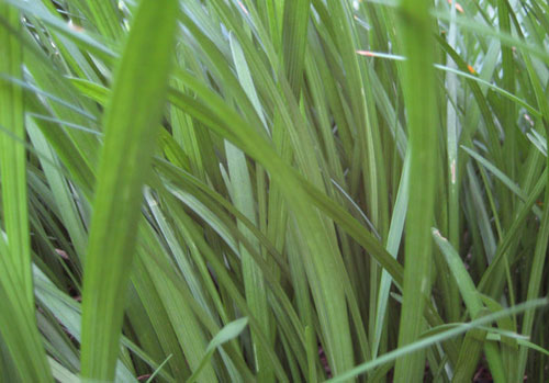 Grass Texture 1-Side Closeup - Free grass textures ready to download