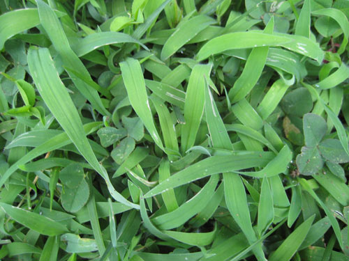 Grass Texture 3-Crabgrass - Free grass textures ready to download