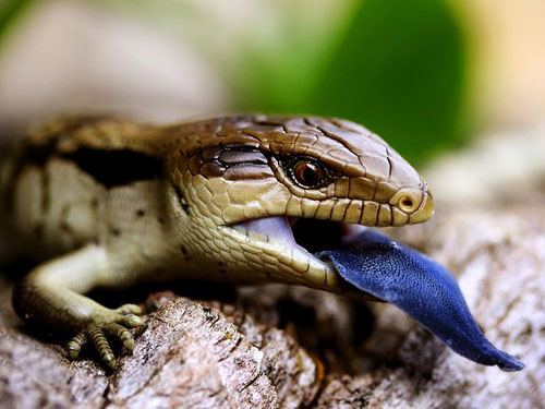 Blue Tongued Lizard, Australia Photography