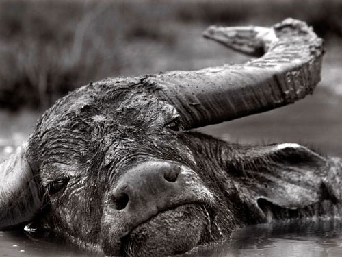 Buffalo, Indonesia Photography