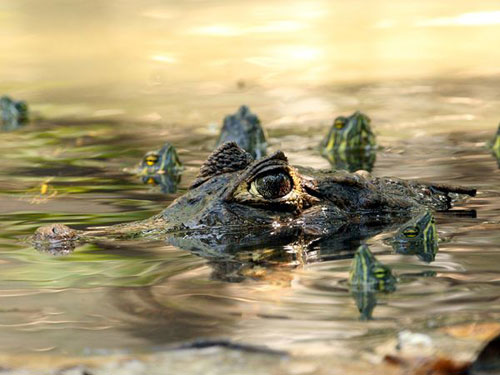 Caiman and Turtles, Guatemala Photography