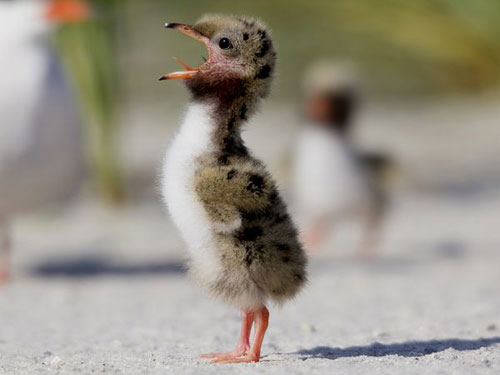 Common Tern Chick Photography