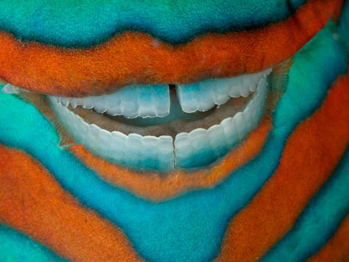 Parrotfish, Great Barrier Reef Photography