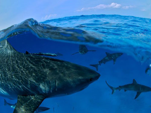 Sharks, Bahamas Photography