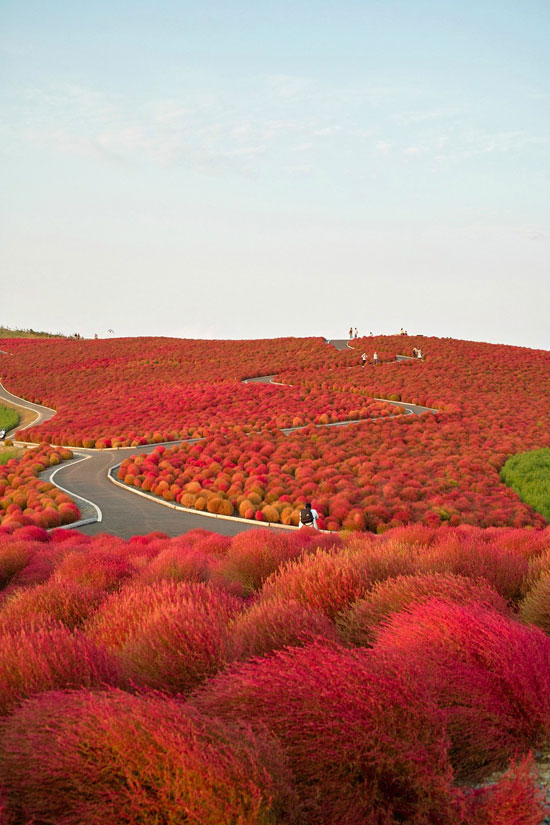 Kochia Hill, Hitachinaka City, Japan Nature Photography