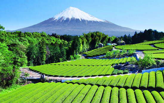 Tea Garden near Mt. Fuji, Japan Nature Photography