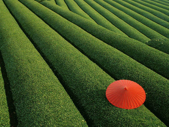 Japanese Tea Field Nature Photography