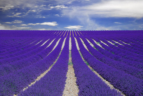 Fields of Lavender in Provence, France Nature Photography