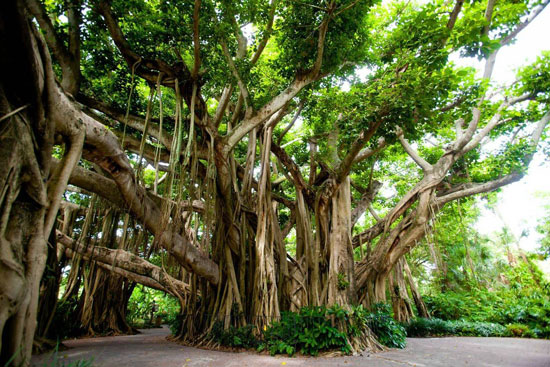 Banyan tree Cypress Gardens, FL Nature Photography