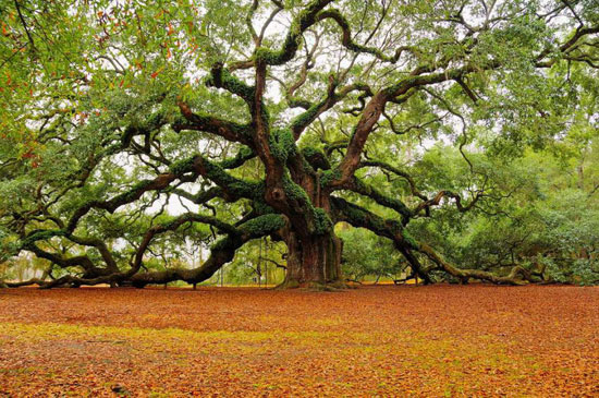 1500 year old Angel Oak in Charleston, South Carolina Nature Photography