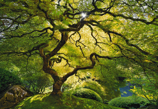 Tree in Portland Japanese Garden Nature Photography
