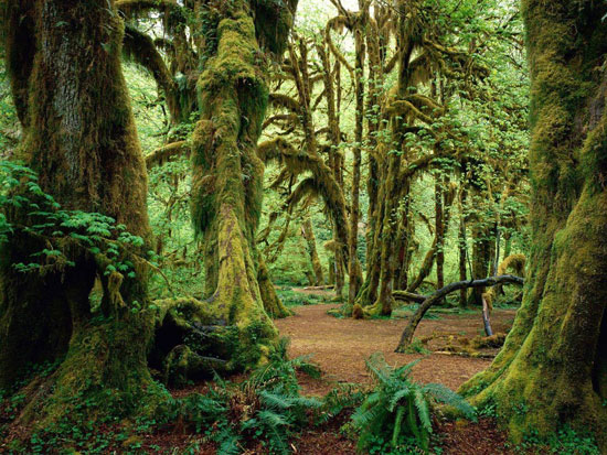 Hall of Mosses, Olympic National Park, Washington Nature Photography
