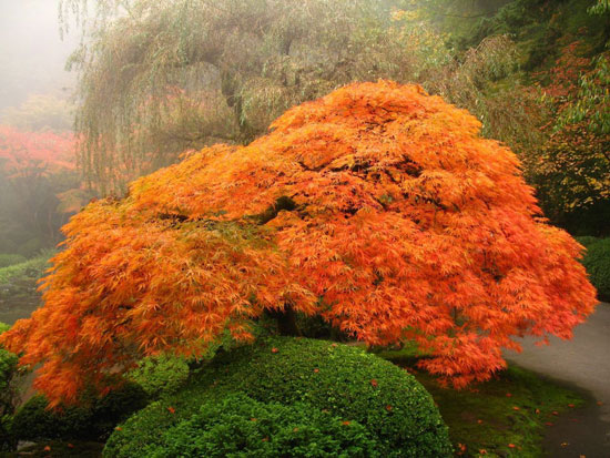 Portland, Oregon Japanese Garden - A bright orange-red lace-leaf maple Nature Photography