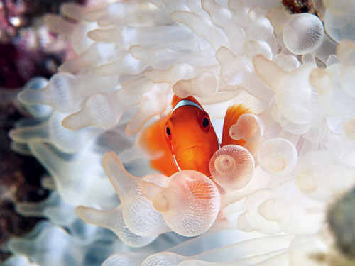 clownfish bubble tipped anemone photography